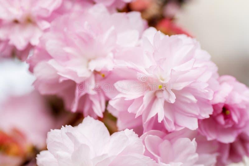 开花的桃红色sacura樱桃树边界在庭院里分支 免版税库存图片