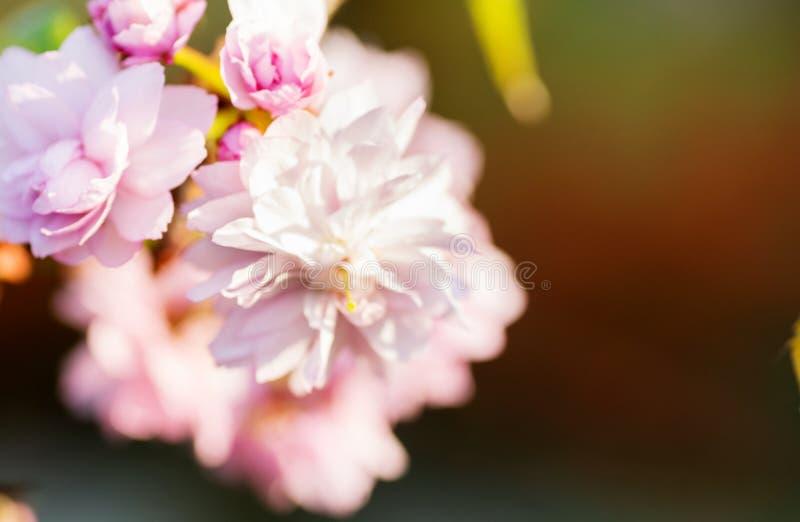 开花的桃红色sacura樱桃树边界在庭院里分支 库存照片