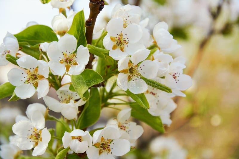 开花的梨精美白花  树绽放在春天庭院里 开花的果树 免版税库存图片