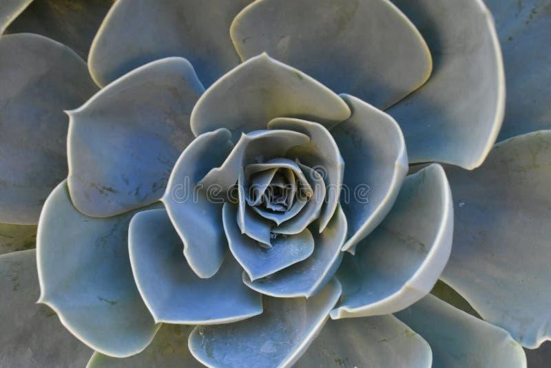 开花的植物在庭院 墨西哥雪球,墨西哥宝石,白色墨西哥玫瑰 多汁植物在沙漠庭院里 科学 免版税库存图片