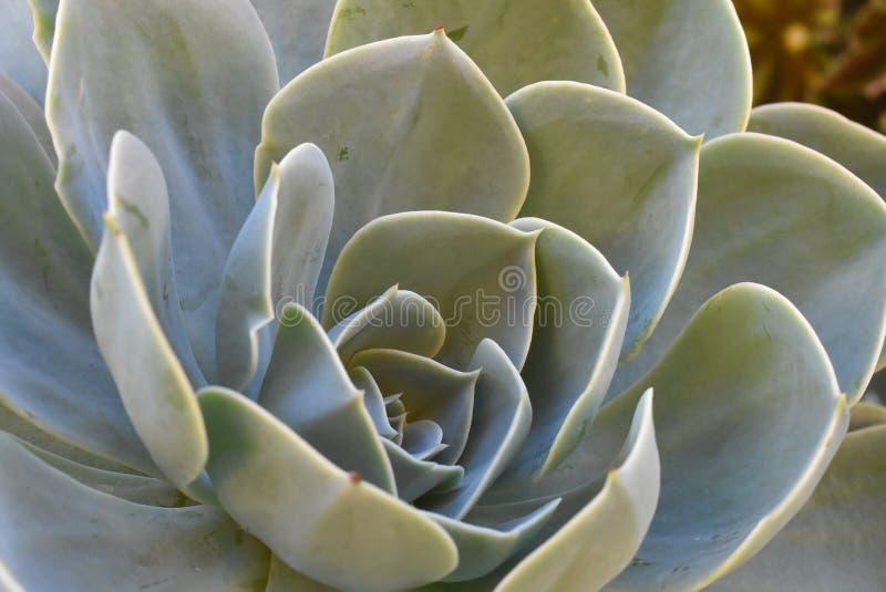 开花的植物在庭院 墨西哥雪球,墨西哥宝石,白色墨西哥玫瑰 多汁植物在沙漠庭院里 科学 图库摄影