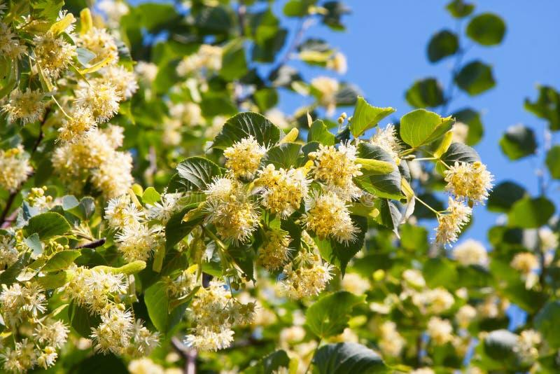 开花的椴树 库存图片