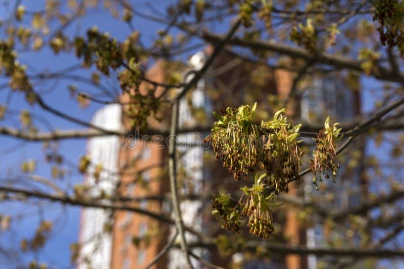 开花的槭树叶子 免版税库存图片