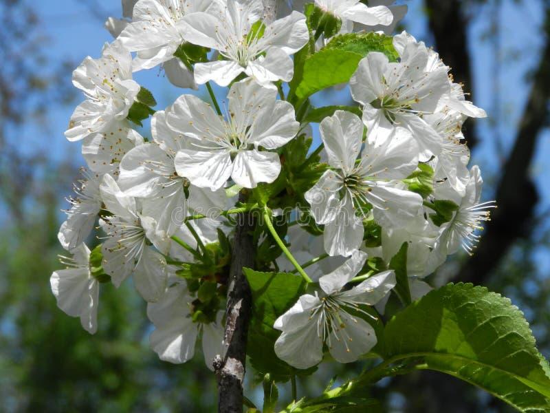 开花的樱桃春天结构树 免版税库存照片