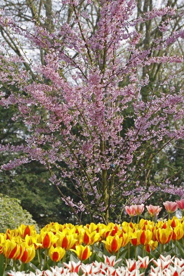 开花的樱桃春天结构树 免版税库存图片