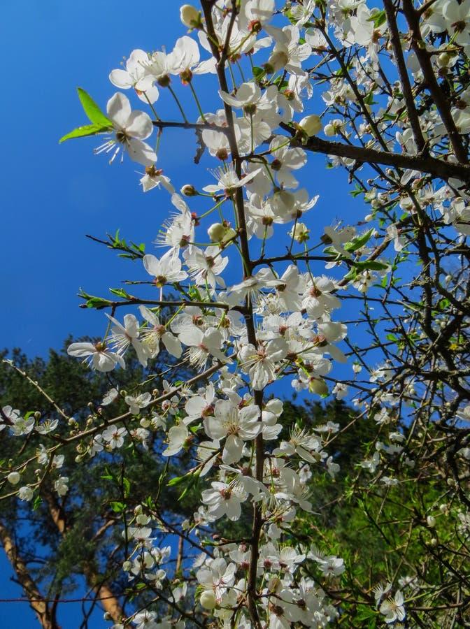 开花的樱桃李子分支在早期的春天在庭院里 免版税库存照片