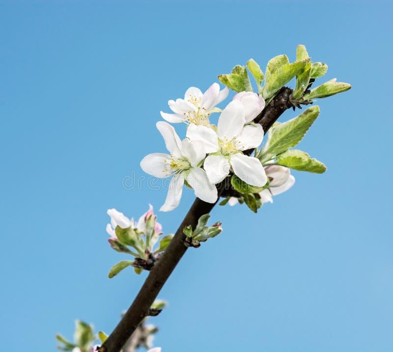 开花的樱桃枝杈和蓝天,季节性自然场面 免版税库存图片