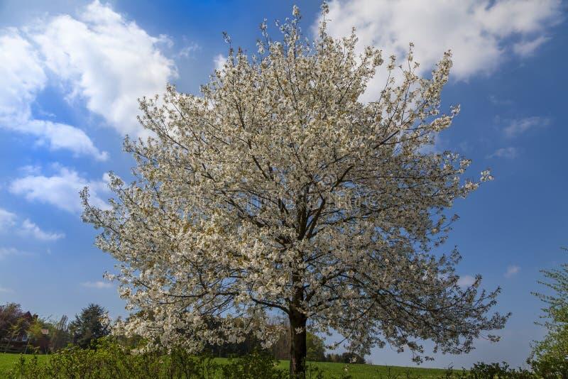 开花的樱桃树在哈根, Osnabrueck国家,德国 库存图片