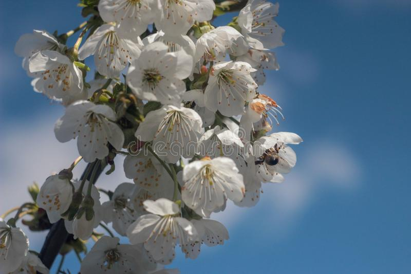开花的樱桃树照片  库存图片