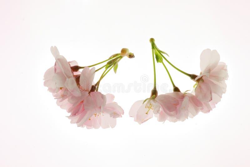 开花的樱桃树花 免版税图库摄影