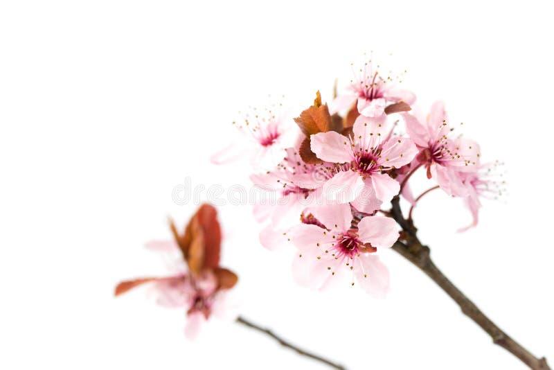 开花的樱桃树,佐仓在白色背景隔绝了 图库摄影