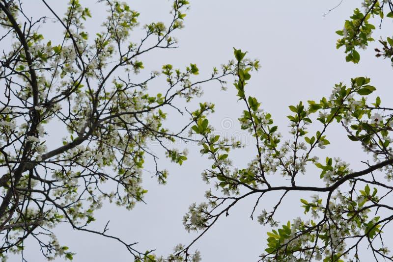 开花的樱桃树 与白花和年轻叶子的分支 美好的场面在春天庭院里 免版税库存照片