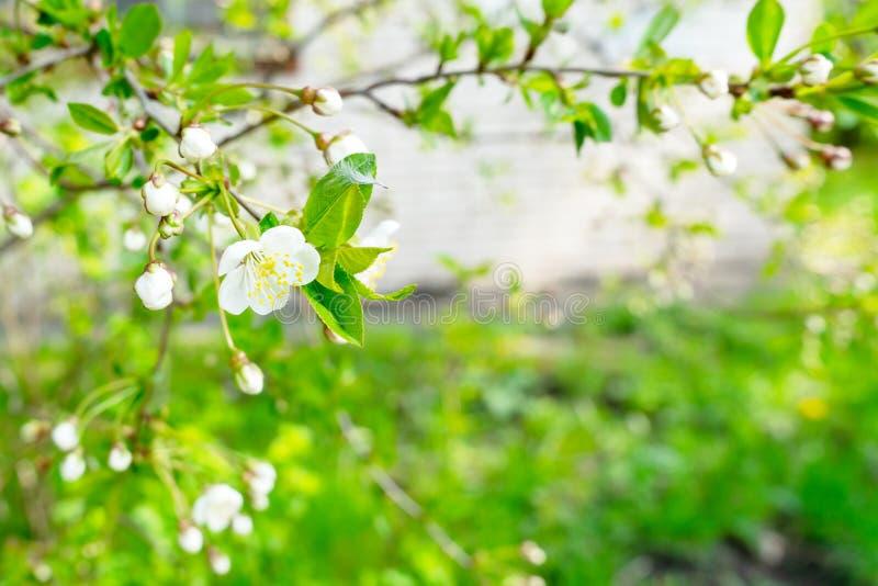 开花的樱桃特写镜头 花是白色的 库存图片