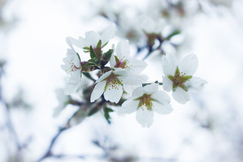 开花的樱桃白花芽 免版税库存照片