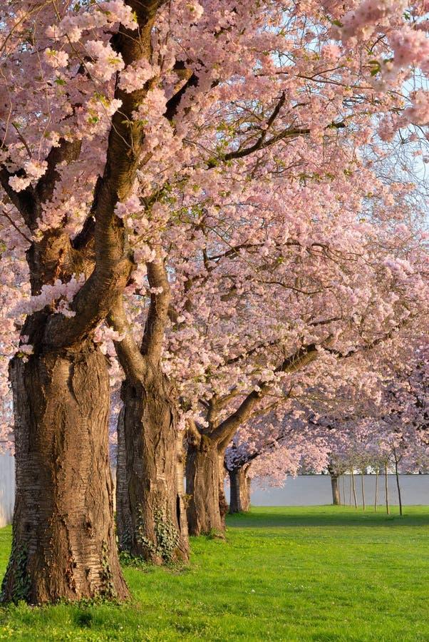 开花的樱桃行结构树 库存图片