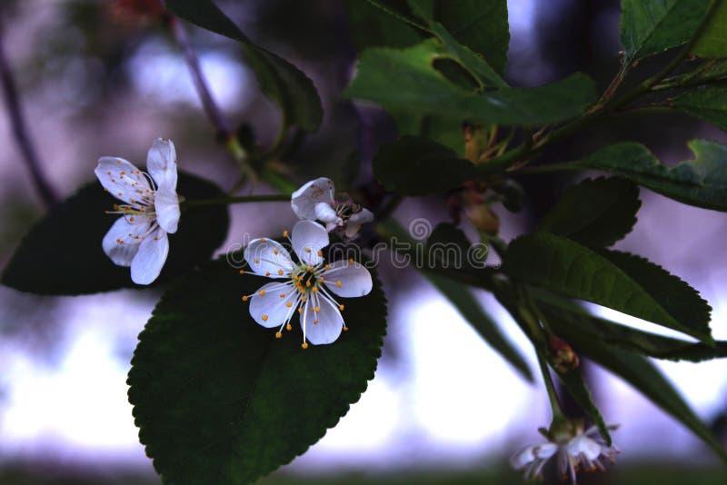 开花的樱桃 免版税图库摄影