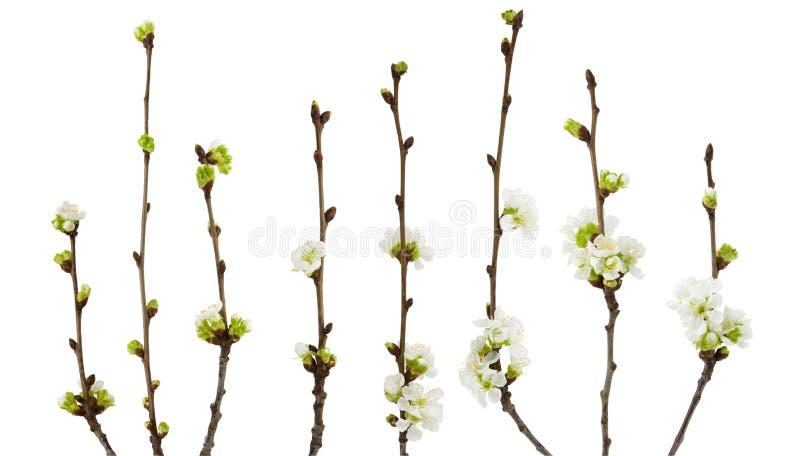 开花的樱花在与裁减路线的白色背景隔绝的春天分支 库存照片