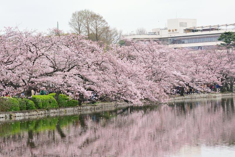 开花的樱花的反射在上野公园的在东京,日本 库存图片