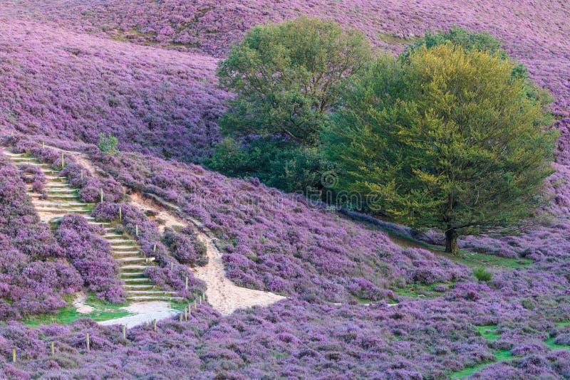 开花的欧石南丛生的荒野在荷兰 库存照片