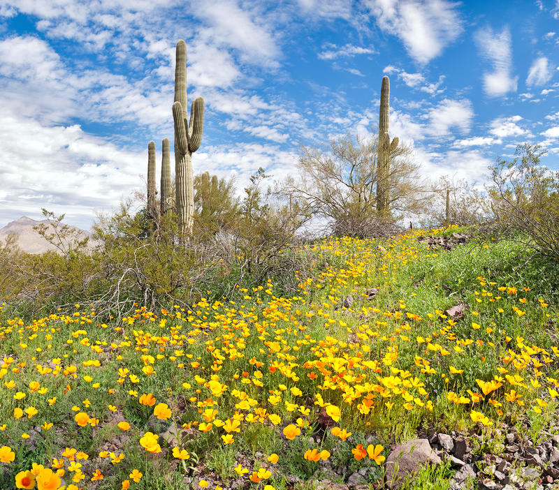 开花的沙漠 免版税图库摄影
