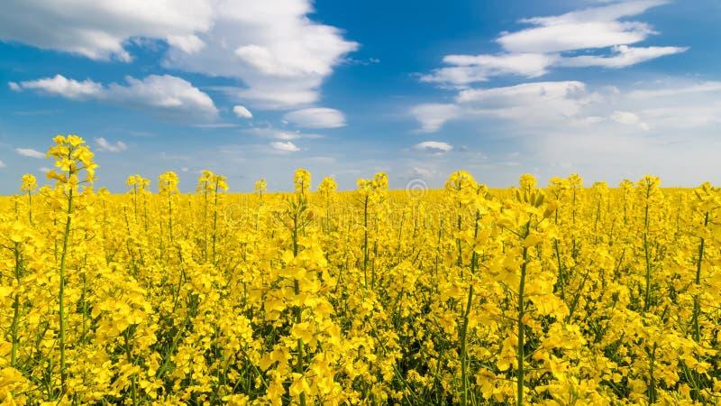 开花的油菜子,蓝天,白色云彩 芸苔napus 免版税库存照片