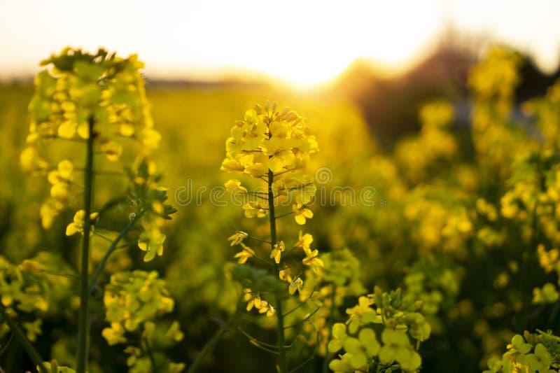 开花的油菜籽油菜或菜子的关闭在拉丁芸苔Napus,绿色能量和石油工业的,在日落的油菜籽植物 库存照片