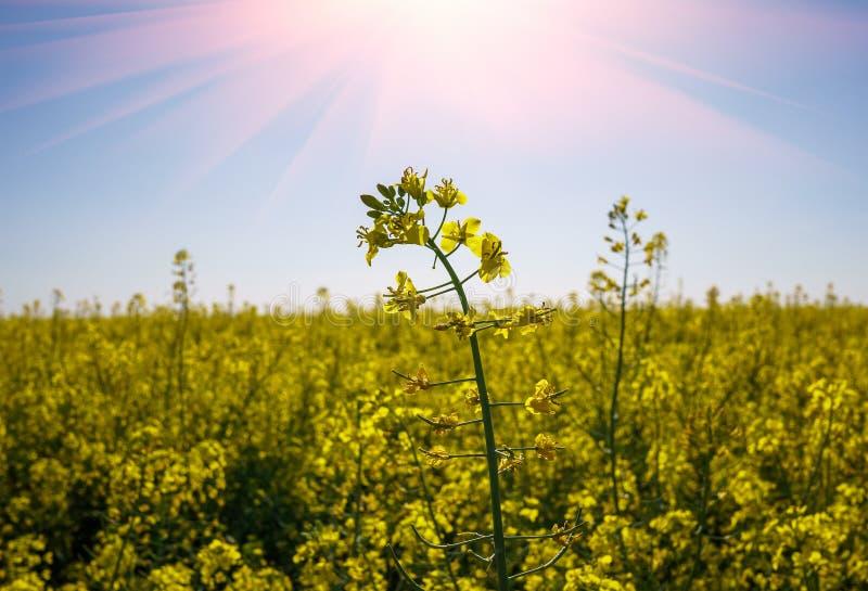 开花的油菜籽油菜或菜子细节在拉丁芸苔Napus,植物绿色能量和石油工业的,油菜籽在蓝色s 库存照片