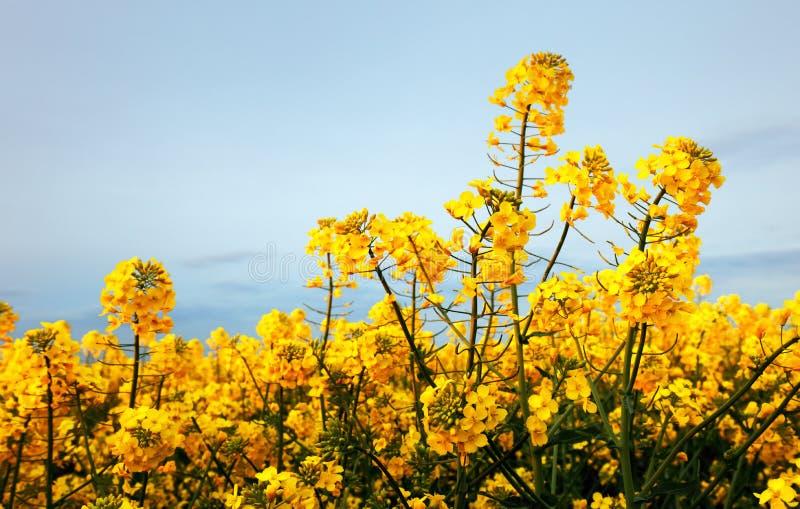 开花的油菜籽油菜或菜子细节在拉丁芸苔Napus,植物绿色能量和石油工业的 免版税库存照片