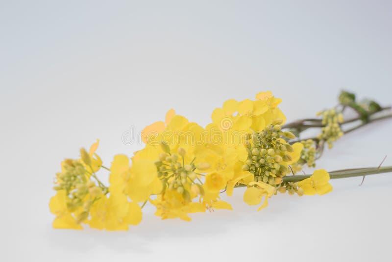 开花的油菜籽油菜细节  免版税库存图片