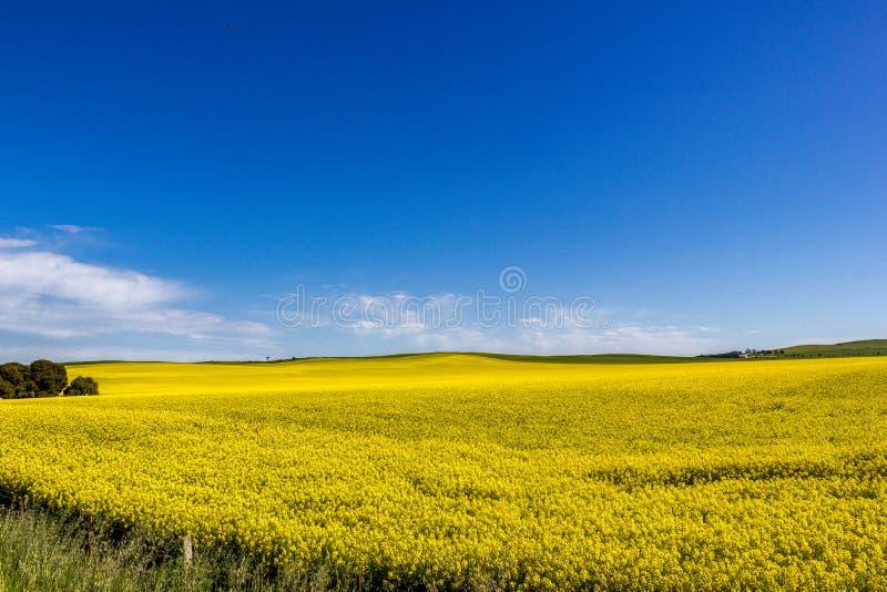开花的油菜籽的金黄领域与天空蔚蓝-芸苔napus的-绿色能量和石油工业的,米尔杜拉,南部植物 库存图片