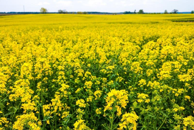 开花的油菜领域的看法,自然背景 库存照片