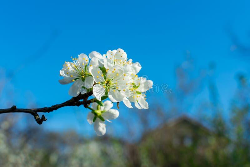 开花的洋梨树分支特写镜头在反对天空蔚蓝和被弄脏的植物的果子庭院里 库存图片