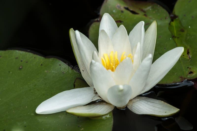 开花的浪端的白色泡沫百合在一个晴天在夏天 免版税图库摄影