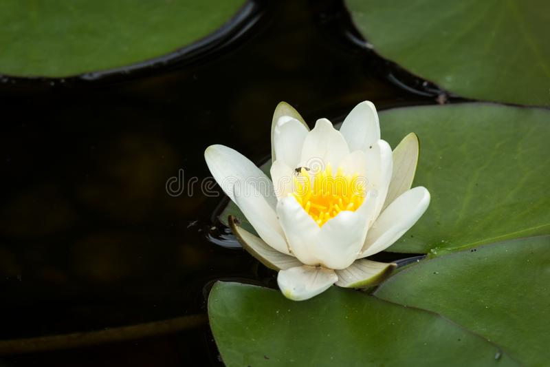 开花的浪端的白色泡沫百合在一个晴天在夏天 免版税库存图片