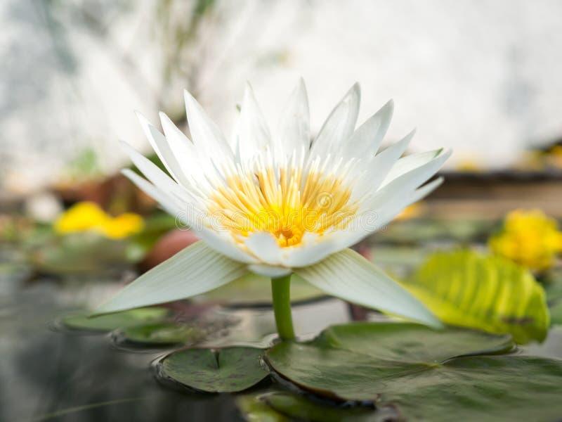 开花的浪端的白色泡沫lilly 库存照片