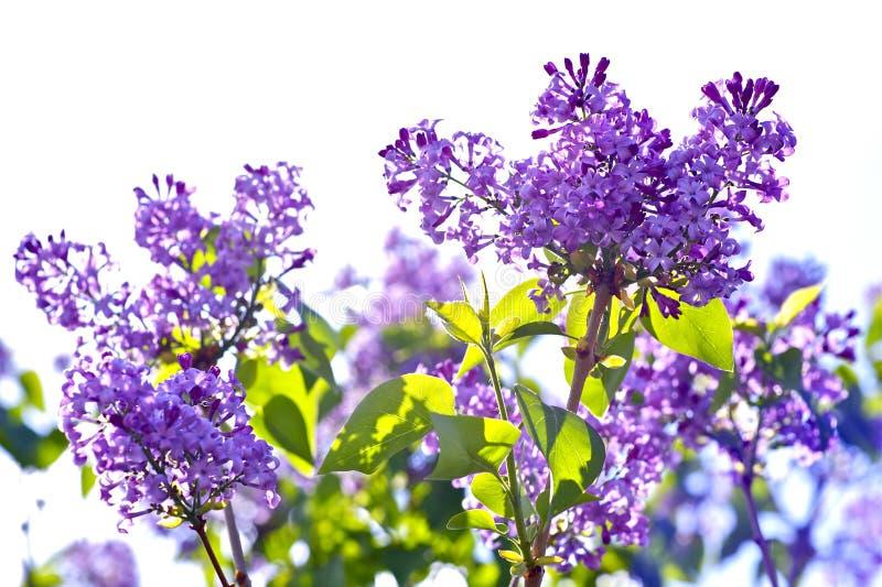 开花的淡紫色紫罗兰 库存图片