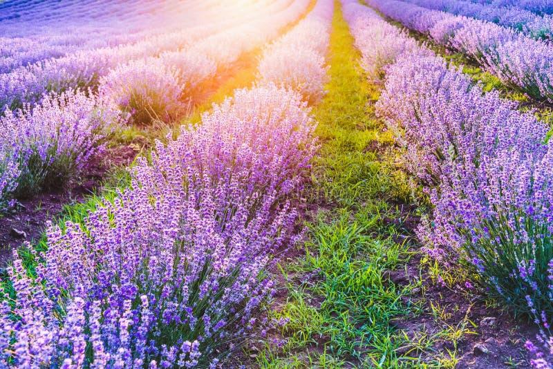 开花的淡紫色调遣在夏天日落的柔光下 库存照片