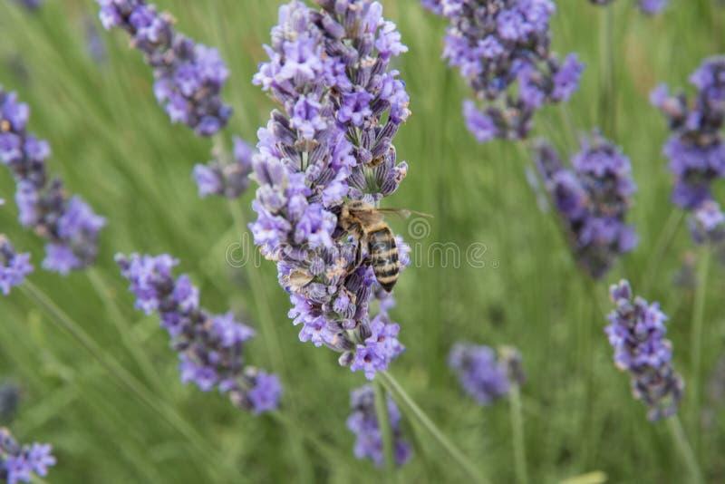 开花的淡紫色领域在普罗旺斯法国 免版税库存图片