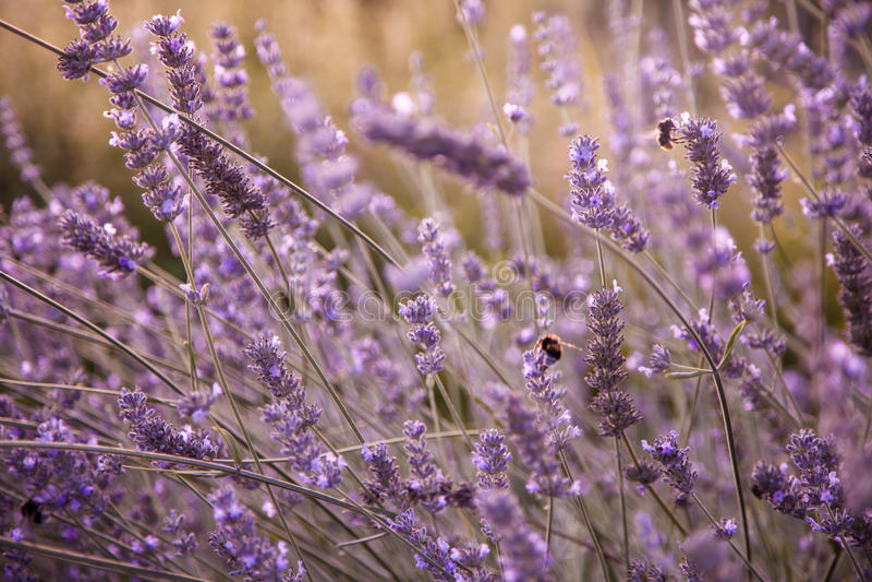 开花的淡紫色领域在晚上阳光下 免版税库存图片