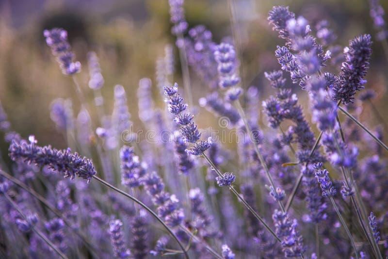 开花的淡紫色领域在晚上阳光下 库存图片
