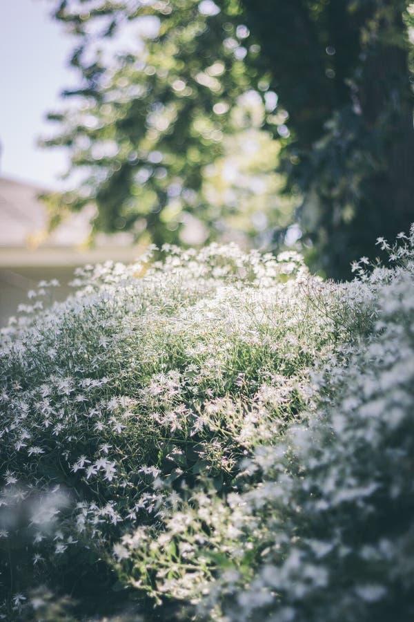 开花的灌木在阳光下 免版税库存图片