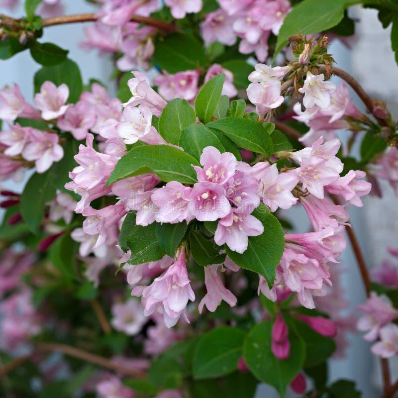 开花的灌木锦带花分支拍摄了特写镜头 库存图片
