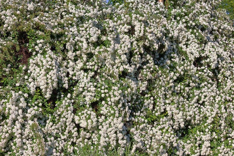 开花的灌木spirea i 库存图片