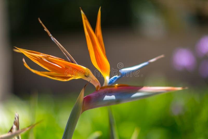 开花的热带天堂鸟 图库摄影