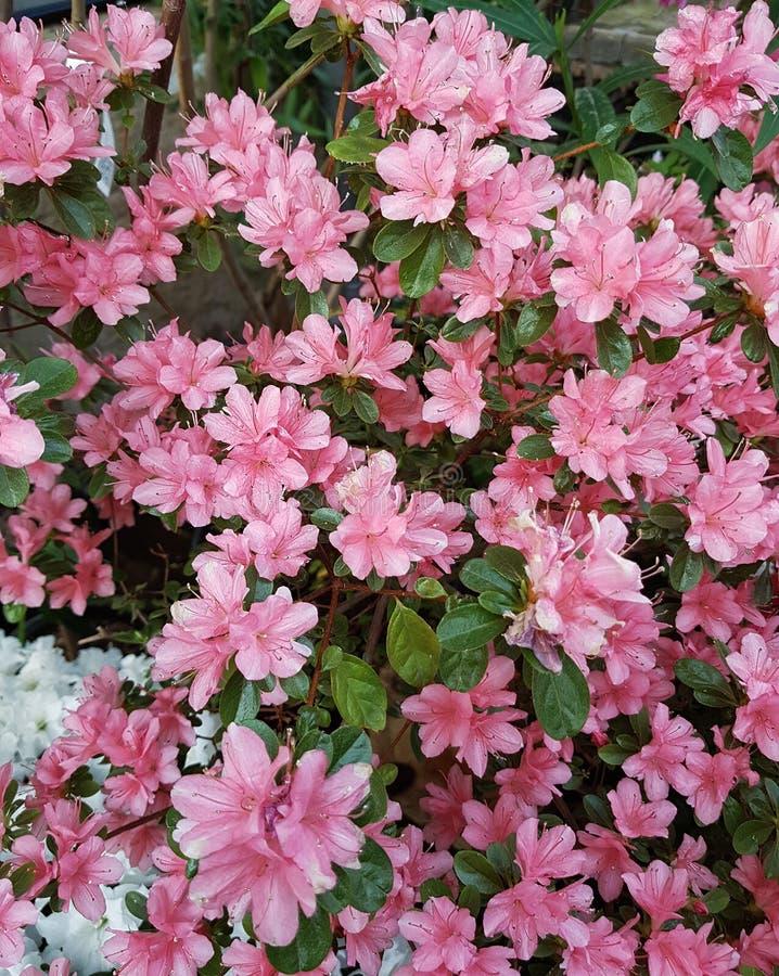开花的热带庭院 库存图片