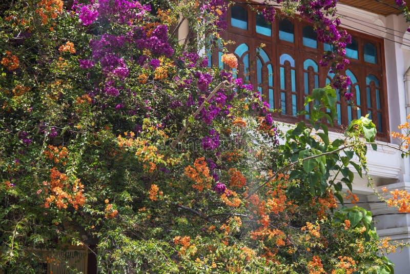 开花的热带树和房子窗口 热带庭院细节 葡萄酒样式房子建筑学和开花树 免版税库存图片