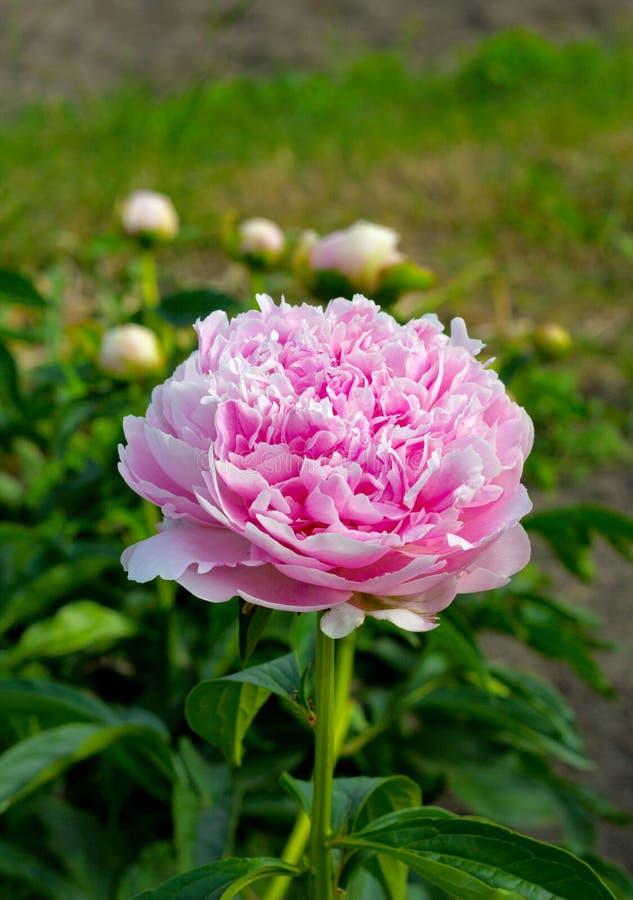 开花的牡丹在庭院里 图库摄影