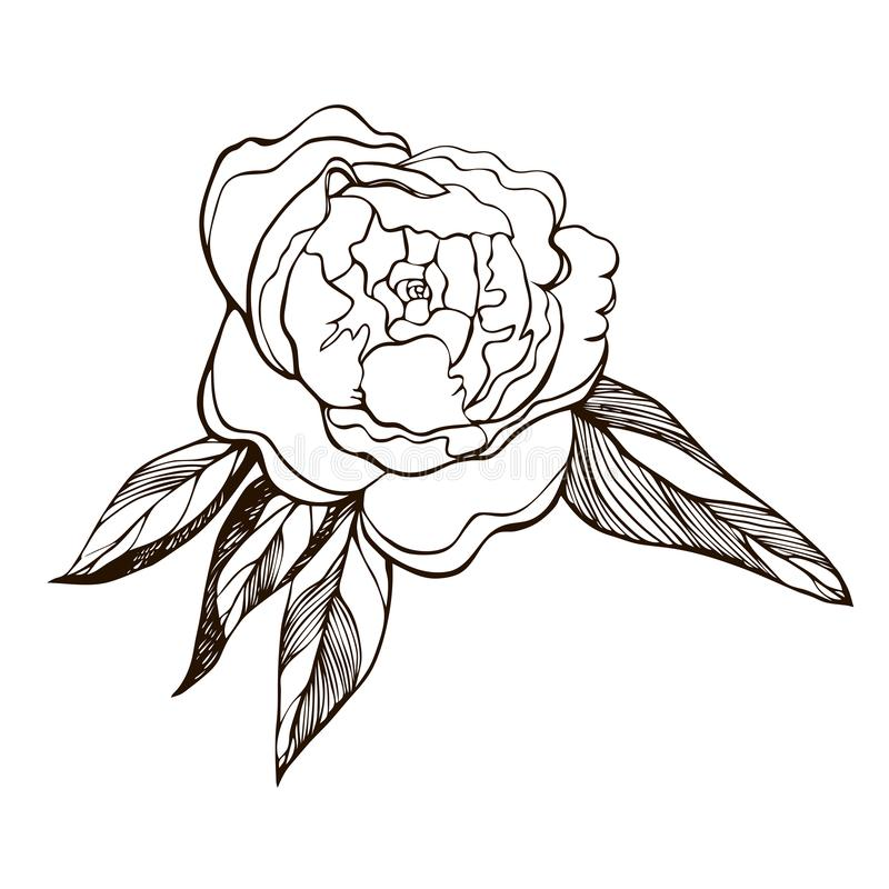 开花的牡丹花 开花的牡丹的手拉的概述例证 被刻记的墨水牡丹花剪影 r 库存例证