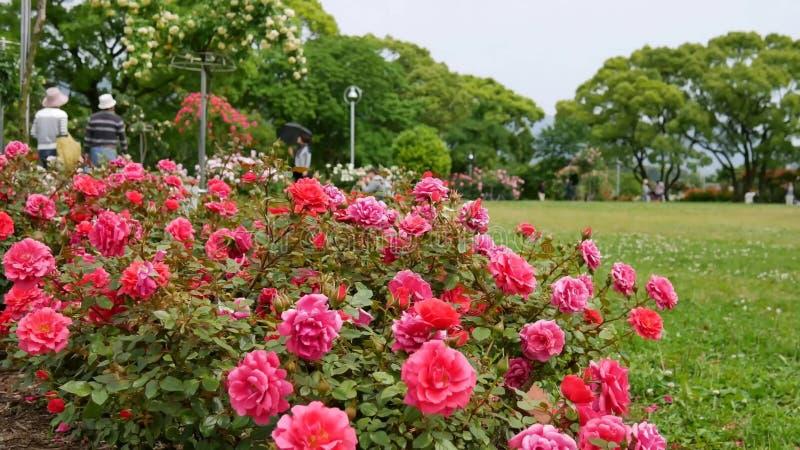 开花的玫瑰在一个晴朗的夏日 免版税图库摄影