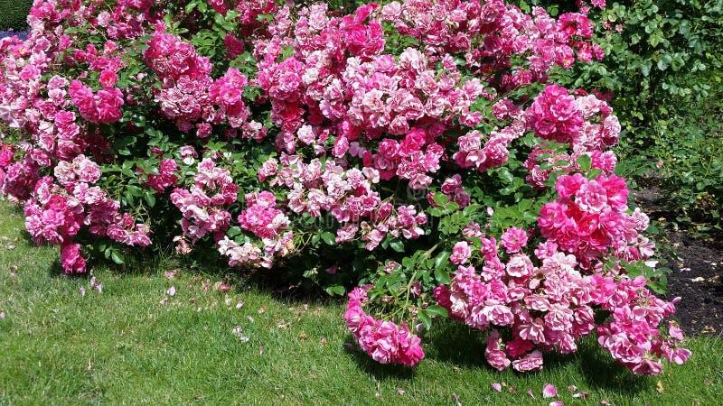 开花的甜桃红色玫瑰 图库摄影